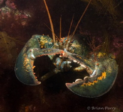 Homerus Americanus- Massachusetts Lobster.  Be careful, t... by Brian Perry